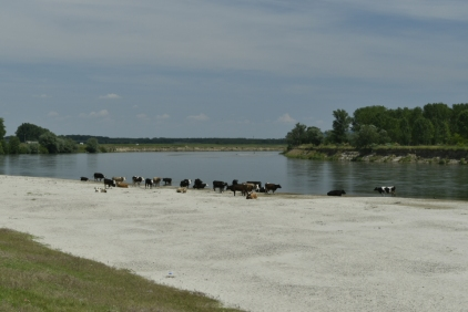 Cattle, River Olt