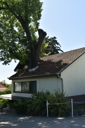 Tree growing through roof