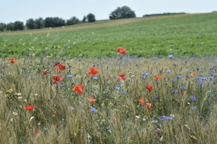 Wild flowers alongside fields