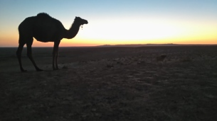 Couple of camels lurked at the camp