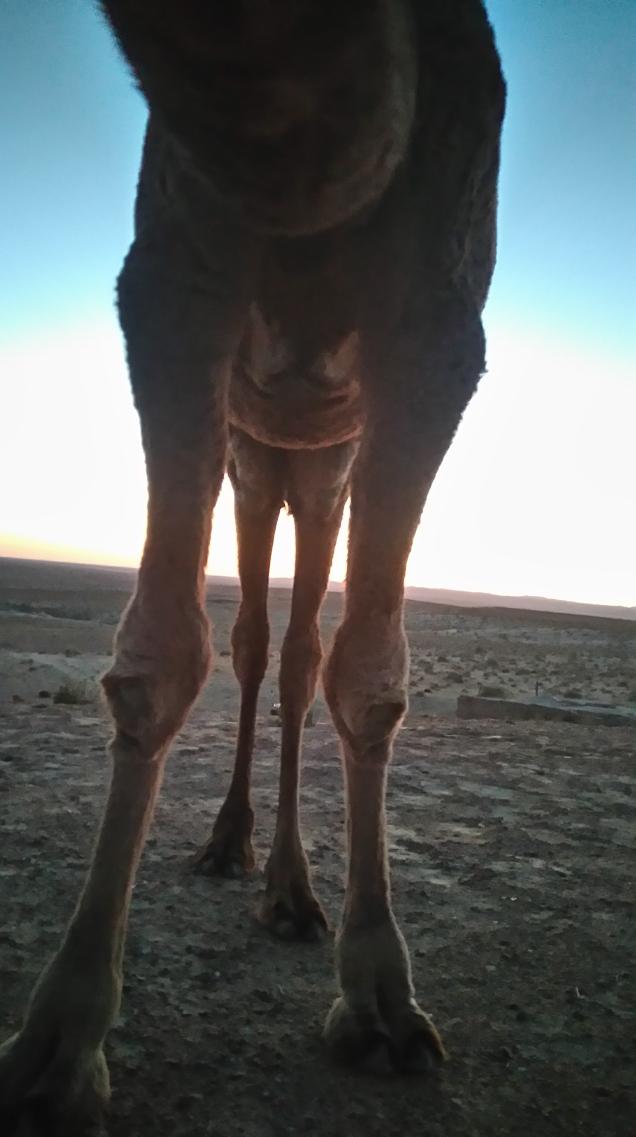 Pretty friendly camel...