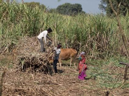 Harvesting sugar cane.