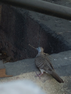 Zebra Dove, Thailand, building the bridge over the River Kwai