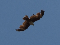 Brahminy Kite... and?