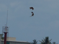 Brahminy Kites behaving