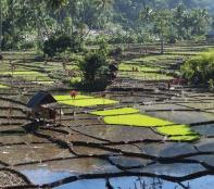New rice plants