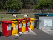 Australians regard the ibis as pests, can't think why....