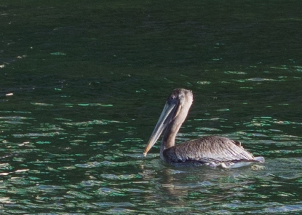 Smaller, browner, pelican