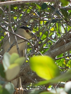 Black Crowned Night Heron, hiding